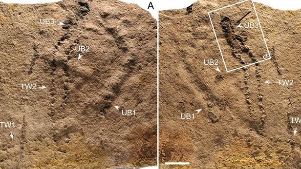 五亿年前的化石是有史以来发现的最古老的动物足迹